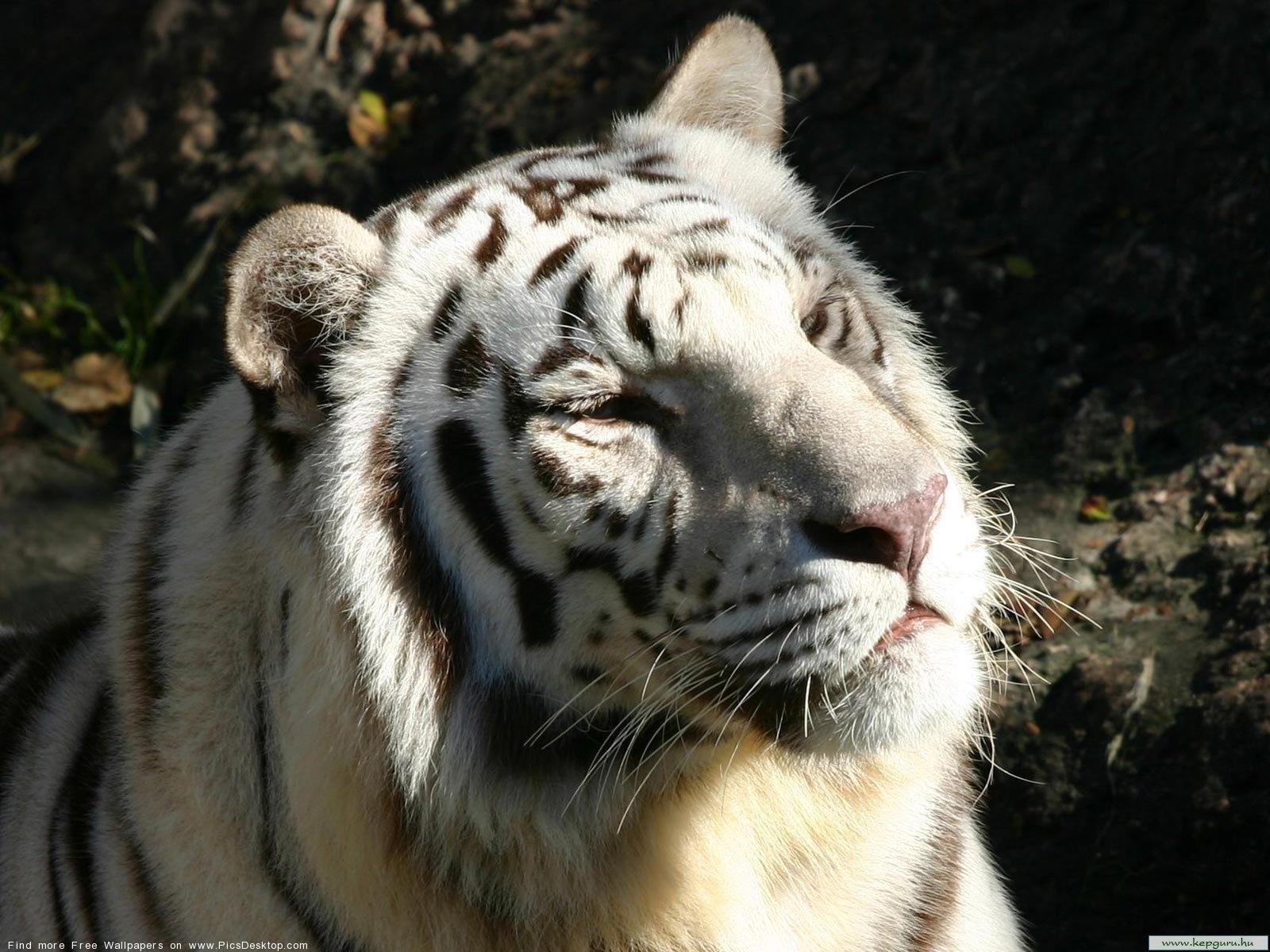 White Tiger Wild Animals Free Desktop Wallpaper Image 45