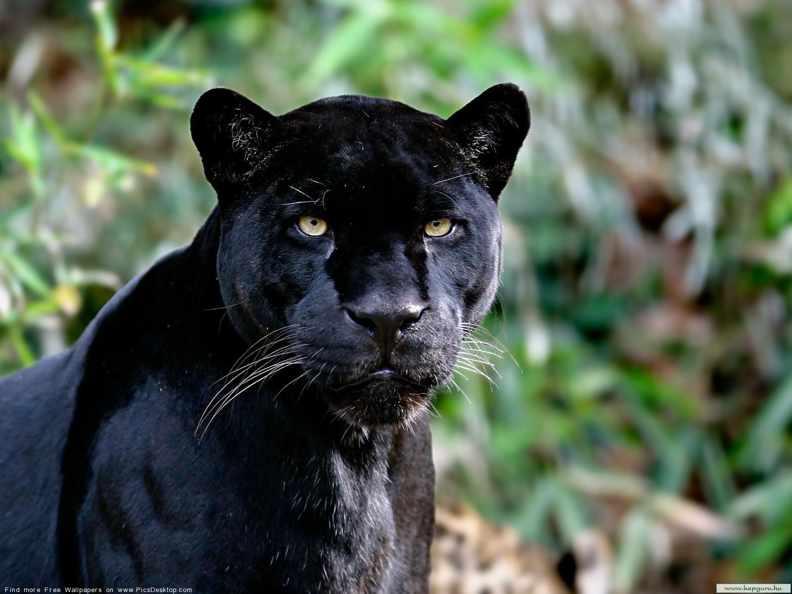Black panther - Wild Animals - Free Desktop Wallpaper ... - photo#45