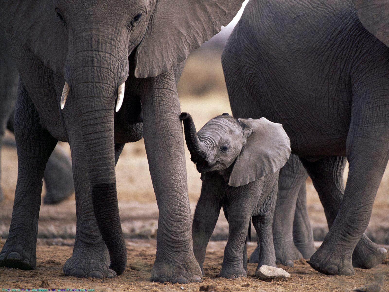 Elephants Animal Animals Calf: The Big African Elephants With Cute Elephant-calf